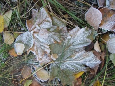 Замерзшие листья