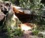 На Сумщине парня раздавило срубленное дерево