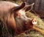 Чума свиней: на Сумщине зафиксировали первый случай