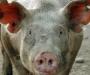 На поставки свинины из Сумщины ввели ограничения
