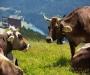 Фермер из Голландии создал «Коровий сад»