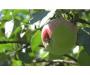 Уникальная яблоня на Сумщине плодоносит с двух сторон: такого не было почти десять лет