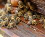 На Сумщине снова массовый мор пчел