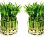 Совет дня: комнатный бамбук - растение удачи